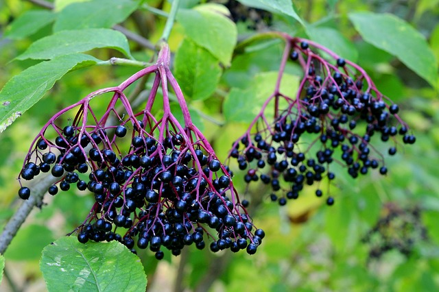 Elderberry Wine Recipe – A King Among Fruit Wines